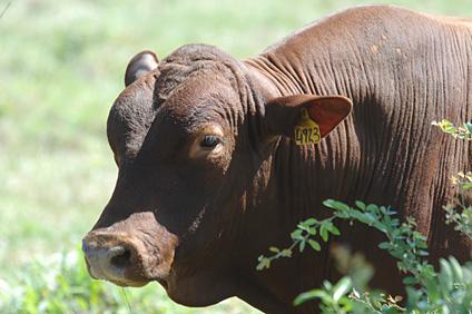 Senepol Cattle